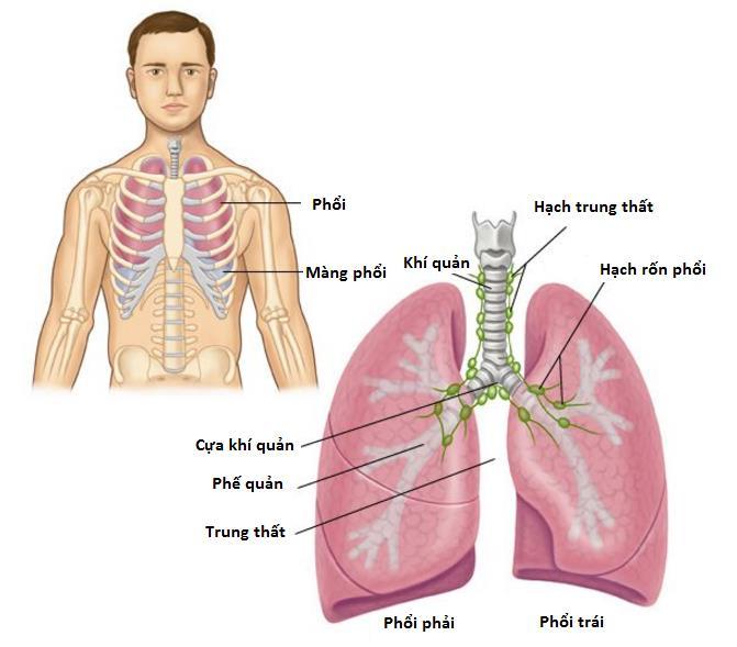 Cấu tạo của phổi